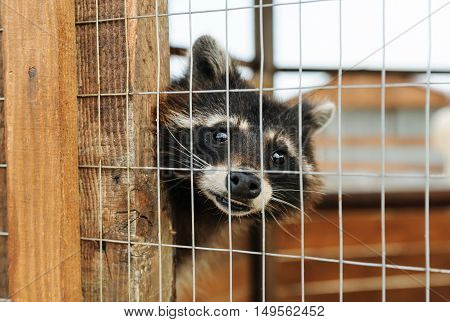 Animals in captivity. Raccoon is behind bars.