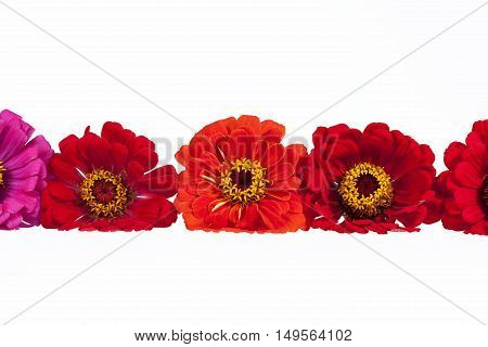 Flowers of red zinnia isolated on white background place for text