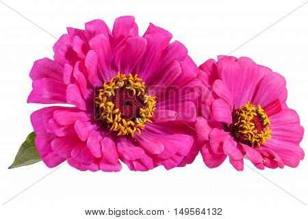 Flowers of pink zinnia isolated on white background close up