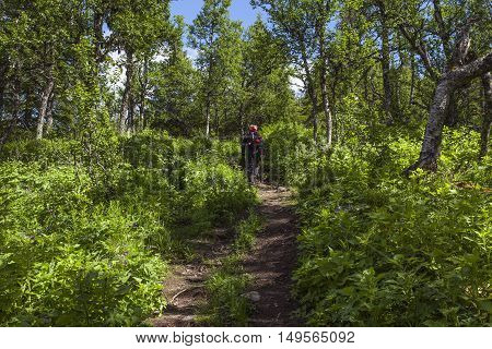 Hiker walks in a mountain forest. Green plants, vegetation in the surrounding. Summer and sunshine.