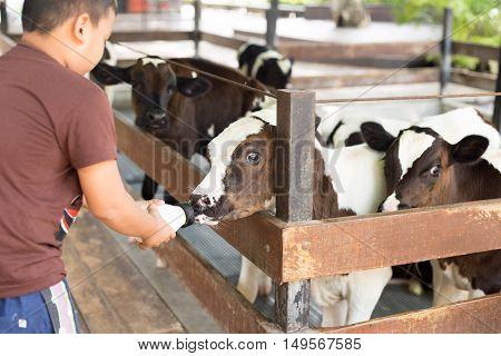 Boy feeding cow with a milk bottle on the farm