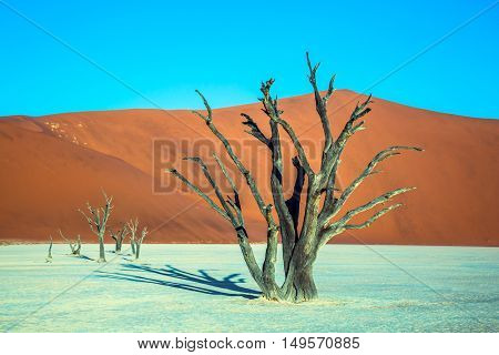 Ecotourism in Namib-Naukluft National Park, Namibia. The bottom of dried lake Deadvlei, with dry trees. Evening, sunset