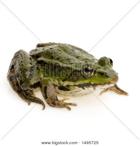 Edible Frog - Rana Esculenta