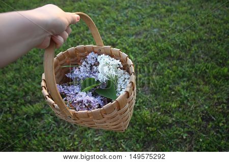 Lillac purple flowers in a basket on a green grass background