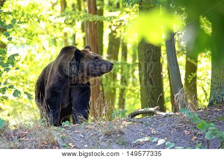 Brown bear in the forest in the wild