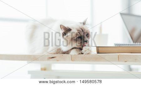 Lovely Cat On The Desktop