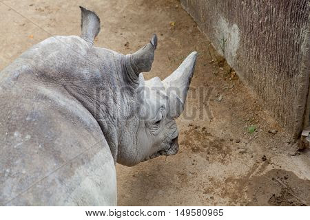 Portrait of adult rhinoceros at zoo, outdoor