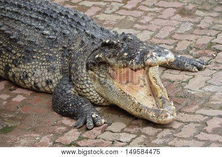 Freshwater crocodile species are native to Thailand in Vietnam Cambodia Laos Thailand Kalimantan Java and Sumatra is quite a big medium sized crocodile.