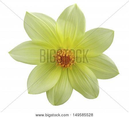 Garden yellow autumn flower white isolated background with clipping path. Nature. Closeup no shadows.