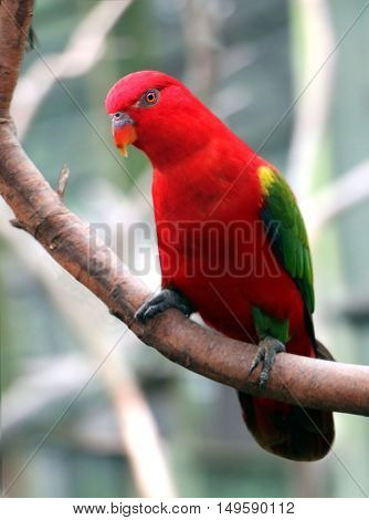 Red bird on a tree branch with blur background