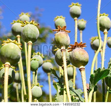 Poppy heads on a blue sky background
