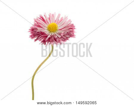 gentle pink-purple bi-color daisy flower with a yellow center on a thin curved long green stem isolated on a white vertical background