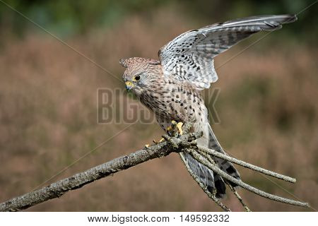 A female kestrel with wings outspread landing on a branch