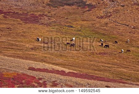 horses are grazed in the distance Colorful autumn landscape with red Dwarfish birches in the Altai mountain Siberia Russia