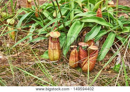 tropical pitcher plant or monkey cup in the nature