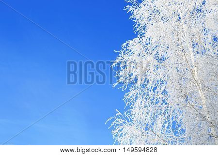 Trees In Frost Closeup On Background Of Blue Sky. Christmas.
