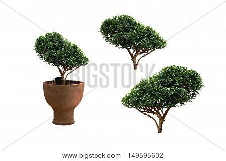 Ornamental plant which is in flowerpot isolated on white background