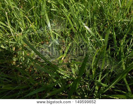 Morning dewdrops on spider web in grass