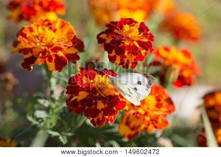 white butterfly on yellow and red marigolds closeup