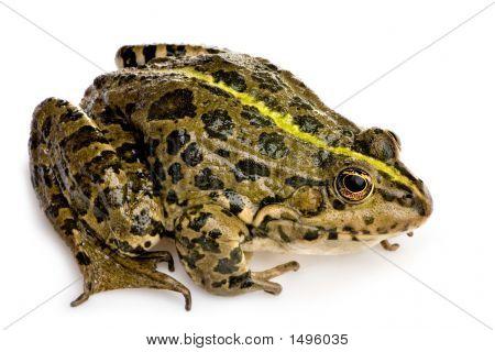 Marsh Frog - Rana Ridibunda