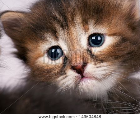 Portrait of sad small siberian kitten over grey background