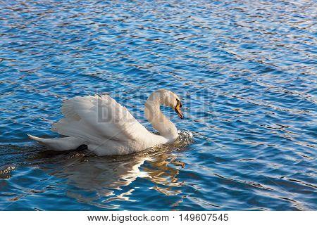 swan at the lake looking at camera