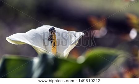 black parasites insects on calla flowers outdoor macro closeup