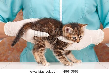 Cute little kitten in hands at the veterinarian over white background