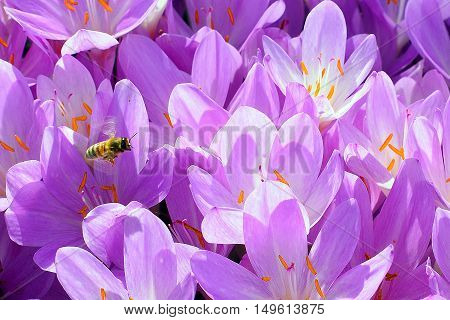 Bee and flowers.  Bees flying above Autumn Crocus.