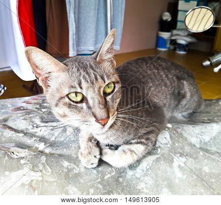 Closeup of Thai Cat in Bangkok, Thailand.