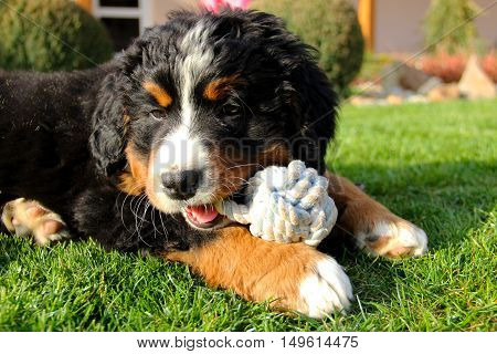Bernese mountain dog puppy on grass with toy