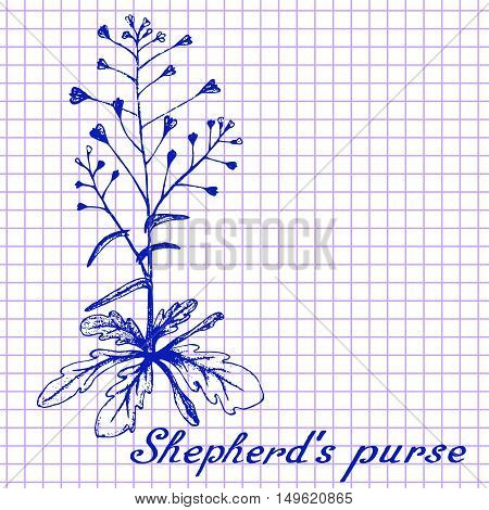 Shepherd's purse. Botanical drawing on exercise book background. Vector illustration. Medical herbs