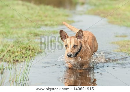 playful dog running through a deep puddle of water