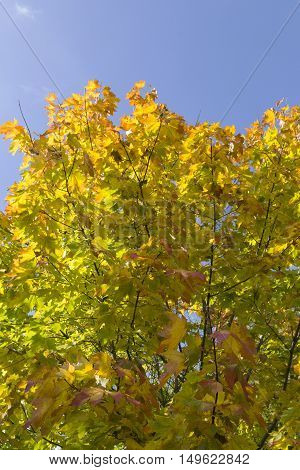 Autumn leaves with the blue sky background. Low angle view. Vertical image