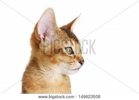 wild color abyssinian kitten 3 month portrait over white background