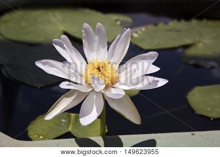 White and Yellow Lotus flower and Lotus flower plants