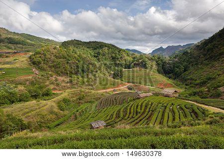 Beautiful Green Tea Plantation In The Doi Ang Khang, Chiang Mai, Thailand. Rural Landscape In Mounta