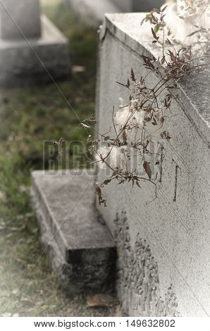 White fluffy weeds dangling over a gravestone