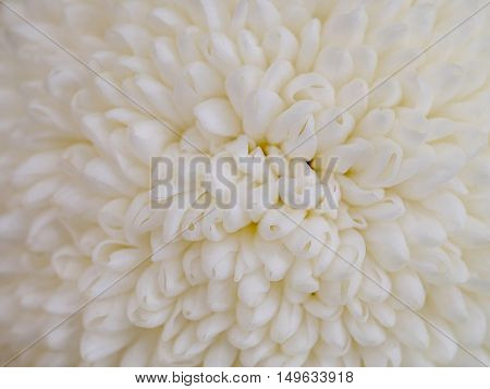 Close up flowers background. Amazing view of beautiful tender white chrysanthemum flowers at sunny summer or spring day.Beautiful tender white chrysanthemum flowers. Colorful chrysanthemum flow.