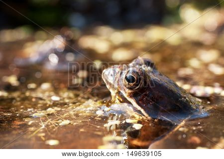 male green frogs during mating season 3