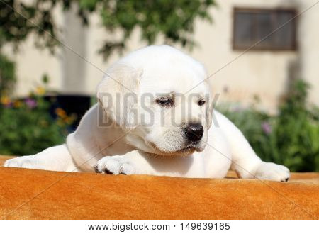 The Little Labrador Puppy On An Orange Background