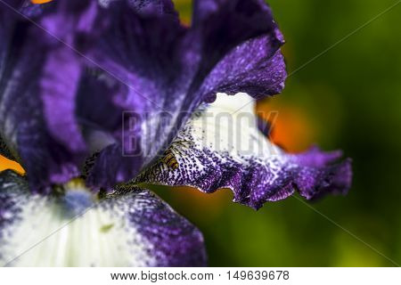 violet and white iris flowers petals outdoor macro closeup