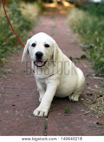 A Little Cute Labrador Puppy N The Garden