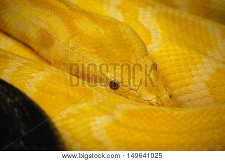 Yellow snake skin with a scaley pattern on a Burmese python.