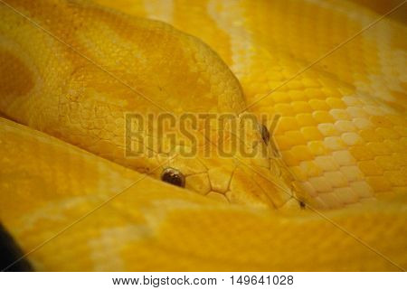 Scaley patterns in the skin of a Burmese python snake.
