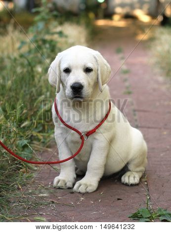 Little Cute Labrador Puppy N The Garden
