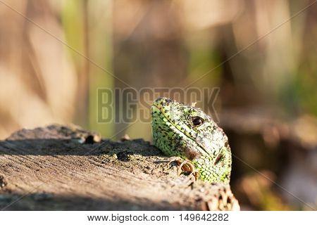 The Male Sand Lizard