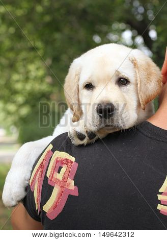 Little Labrador Puppy On A Shoulder