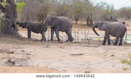 Two Adult And One Young African Elephants Walking In The Bush. Wildlife Safari In The Kruger Nationa