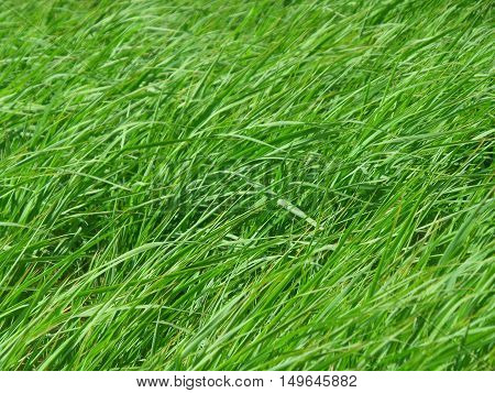 Green grasses blowing in the grass field on windy day
